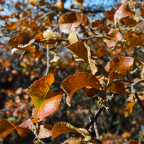 Colourful leaves of the Roble Beech Tree (Nothofagus obliqua)