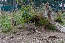 aka-Wildkatzengehege-Bad-Harzburg-2018-09-09__DSC6406.jpg